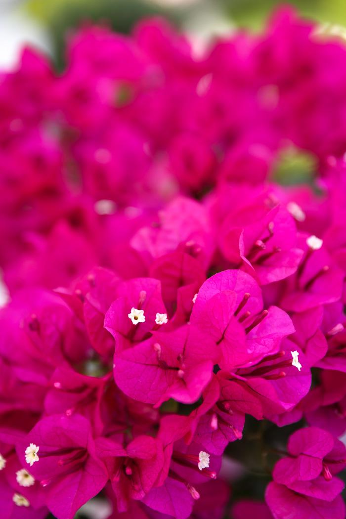 Flowers palm springs gallery flower decoration ideas palm springs in pink vivaluxury mightylinksfo gallery mightylinksfo Images